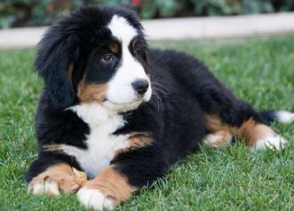 Cachorro Bouvier Bernois